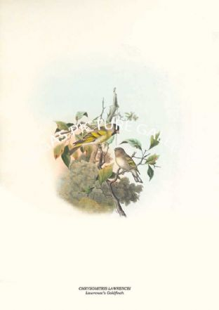 CHRYSOMITRIS LAWRENCEI - Lawrences Goldfinch